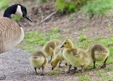 Postcard with a family of Canada geese staying Royalty Free Stock Photos