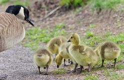 Postcard with a family of Canada geese staying Royalty Free Stock Images