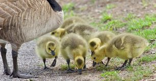 Photo of a family of Canada geese staying Royalty Free Stock Photo