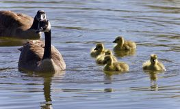 Image of a family of Canada geese swimming. Postcard with a family of Canada geese swimming Stock Photography