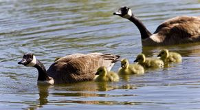Image of a family of Canada geese swimming. Postcard with a family of Canada geese swimming royalty free stock image