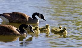 Postcard with a family of Canada geese swimming Royalty Free Stock Images