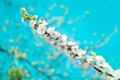 Fresh spring cherry tree blossom close-up on colourful blur back stock images
