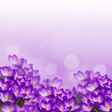 Postcard with fresh flowers crocus Stock Images