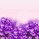 Postcard with fresh flowers crocus Royalty Free Stock Photography