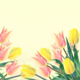 Postcard with fresh flowers tulips  and empty  place for your te Royalty Free Stock Photo