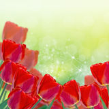 Postcard with fresh flowers tulips  and empty  place for your te Stock Images