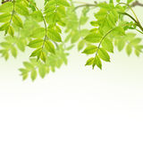 Postcard with fresh green foliage and place for your text Royalty Free Stock Image