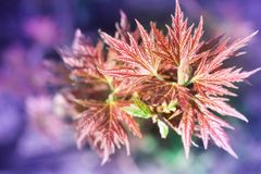 Fresh spring red maple leaves close-up on colourful bokeh background stock photography