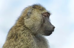 Picture with a funny baboon looking aside. Postcard with a funny baboon looking aside stock images