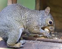 Postcard with a funny squirrel eating nuts Stock Images