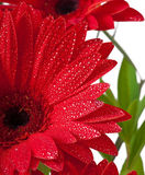 Postcard from gerberas Royalty Free Stock Images