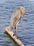 Postcard with a great blue heron cleaning feathers Royalty Free Stock Photo