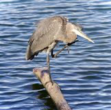 Postcard with a great blue heron cleaning feathers Royalty Free Stock Photos