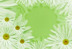 Postcard for the holiday. Floral background with white daisies on a gray background.  Place for text. Flower composition. Nature Stock Image