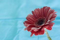 Postcard red gerbera flower closeup with water drops. soft blue background Royalty Free Stock Photo