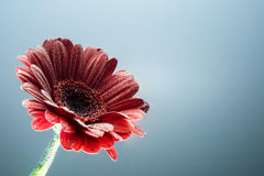 Postcard red gerbera flower closeup with water drops. soft grey background Royalty Free Stock Photos