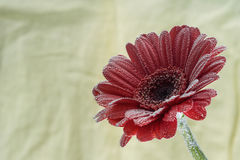 Postcard red gerbera flower closeup with water drops. soft yellow background Stock Photo