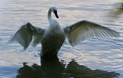Picture with a trumpeter swan showing wings. Postcard with a trumpeter swan showing wings Stock Image