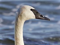Postcard with a trumpeter swan swimming in lake. Isolated picture with a trumpeter swan swimming Stock Photography