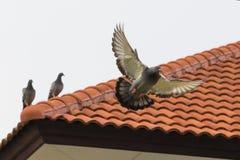 Postduifvogel het vliegen fand het neerstrijken op de tegel van het huisdak Stock Afbeeldingen