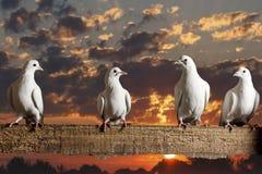 Postduiven die op de omheining de achtergrond van mooie zonsopgang zitten Royalty-vrije Stock Afbeeldingen