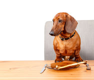 Poster with funny dog sitting at the table with text area. On white background Royalty Free Stock Photo