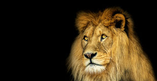 Poster with lion Royalty Free Stock Images