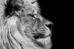 Poster lion. Black and white lion profile royalty free stock photography