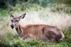 Posteriore o i cervi nobili femminili nel selvaggio Immagine Stock
