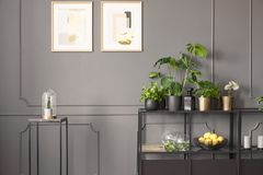 Posters on grey wall with molding in flat interior with plants o. N shelves next to black table. Real photo stock images