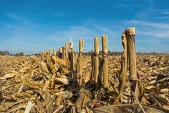 Postharvest rest av havre på fältet, innan att bearbetas in i jorden som organisk arkivfoto