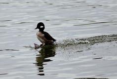 Postkarte mit einer netten Entenlandung auf einem See Lizenzfreie Stockfotos