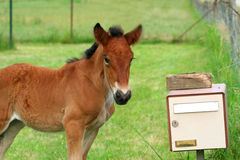 Postman. Foal at mailbox stock images