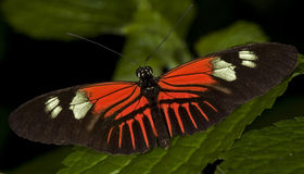 Postman Butterfly Stock Image