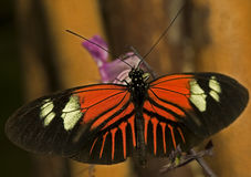 Postman Butterfly. Macro photo of a Postman Butterfly, (Heliconius melpomene stock image