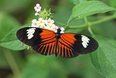 Free Postman Butterfly Stock Photography - 149320182