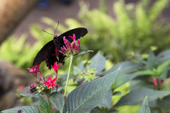 Postman butterfly royalty free stock photos