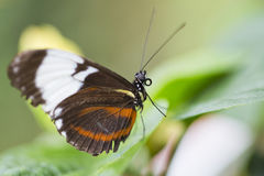 Postman Butterfly. Resting on a leaf Stock Photography