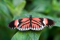 Postman Butterfly. Butterfly sitting on a leaf royalty free stock images