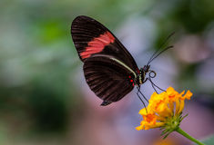 Postman butterfly. Also known as heliconius melpomeone royalty free stock image