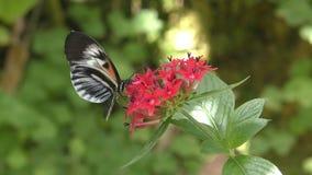 Postman butterfly stock footage