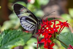 Postman Butterfly Heliconius feeding on pentas lanceolata. Flower photographed at the Butterfly World Coconut Creek Florida FL United States US. Beautiful bokeh stock photos