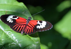 Postman Butterfly on leaf Stock Images