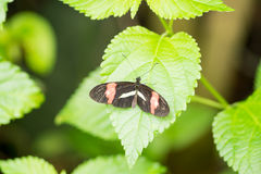 Postman butterfly. On a leaf in a compound in London, UK Royalty Free Stock Photography