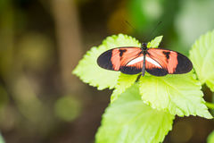 Postman butterfly. On a leaf in a compound in London, UK Royalty Free Stock Images