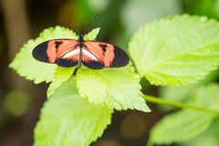 Postman butterfly. On a leaf in a compound in London, UK Stock Photos