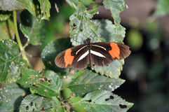 Postman Butterfly on Leaves Stock Photography