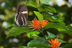 Postman Butterfly and Orange Flower Stock Image