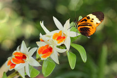 Postman Butterfly and Orchid. Small postman butterfly on orchid flower royalty free stock image